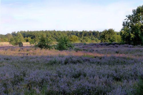 heathland heather erica ceae
