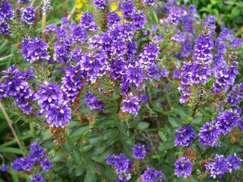hebe purple pixie flower