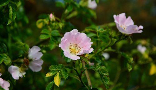 heck roses dog rose bush