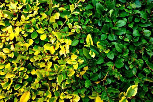 hedge clipped hedge shape