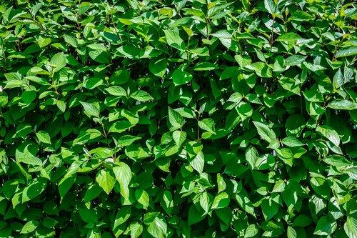hedge  garden  leaf