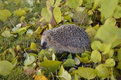 hedgehog garden spiny