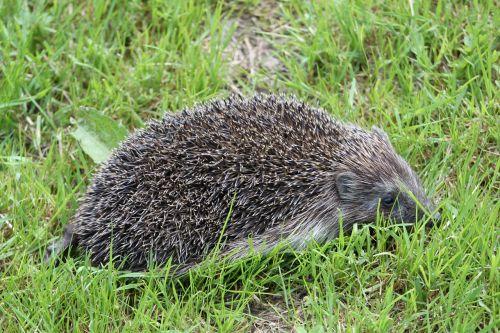 hedgehog spur nature