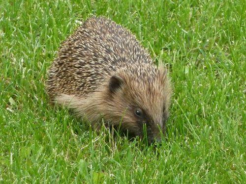 hedgehog nature rush