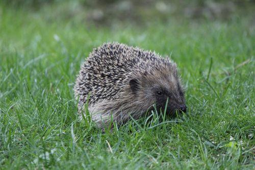 hedgehog spur garden