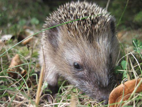 hedgehog young hedgehog spur