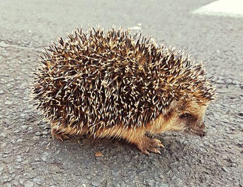 hedgehog sweet hedgehog baby