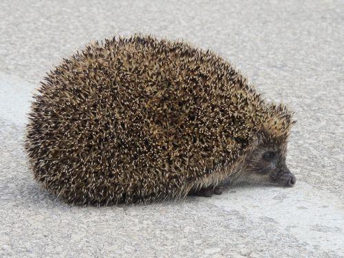 hedgehog animal spines