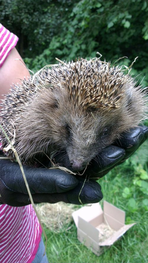 hedgehog hand glove