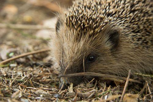 hedgehog animal forest