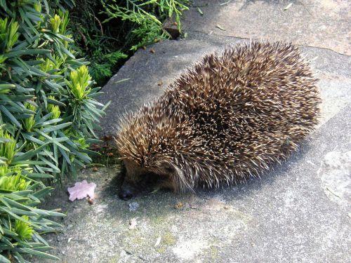 hedgehog animals prickly