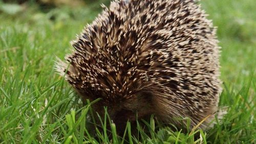 hedgehog meadow s