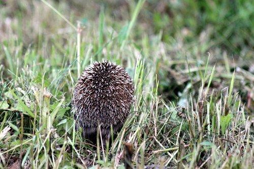 hedgehog  erinaceus amurensis  amur hedgehog