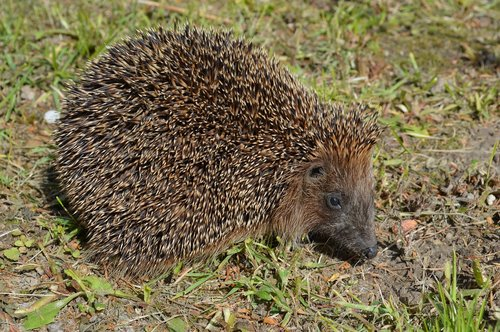 hedgehog  animals  crew cut