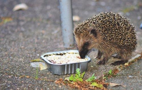 hedgehog  young animal  spur