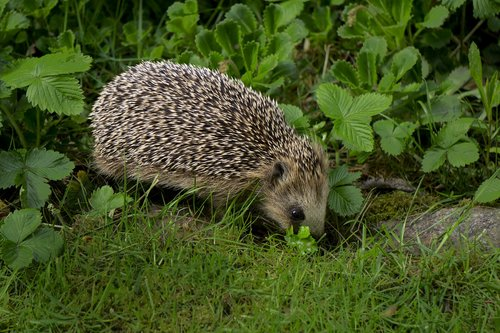 hedgehog  nightly  animals