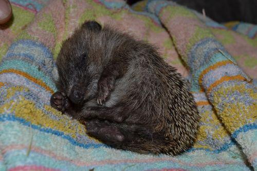 hedgehog small sleepy