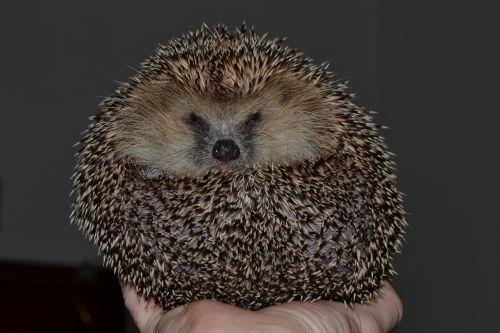 hedgehog sphere collapsed
