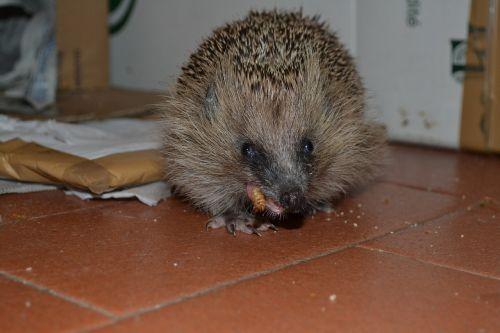 hedgehog a mess eating