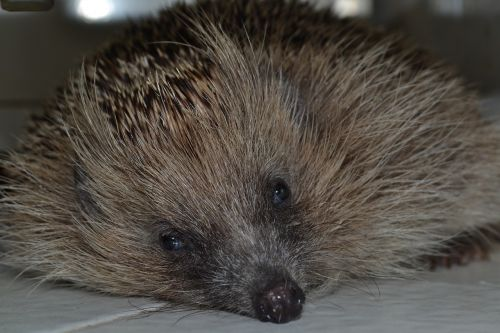 hedgehog look depression