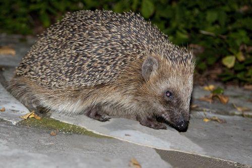 hedgehog erinaceus europaeus spur