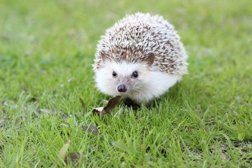 hedgehog cute animal