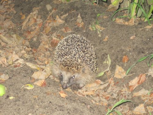 hedgehog spur hibernation