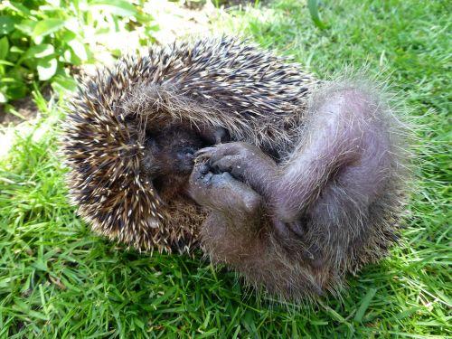 hedgehog mecki grass