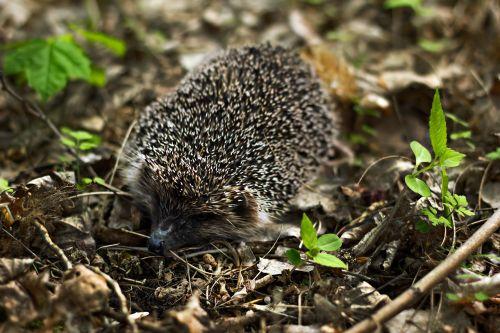 hedgehog animal rodent