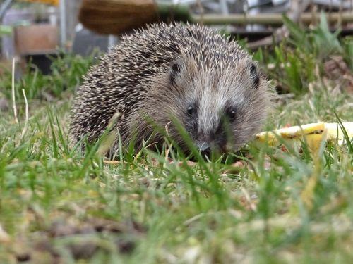 hedgehog garden mecki