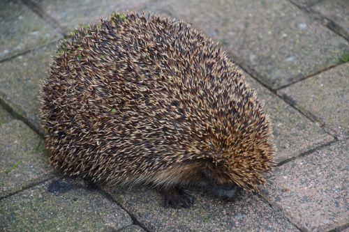 hedgehog hibernation nocturnal
