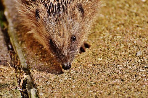 hedgehog child young hedgehog hedgehog