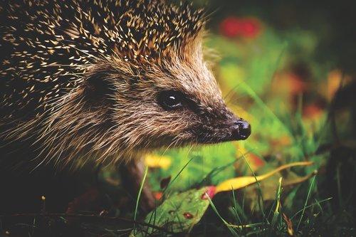 hedgehog child  hedgehog  young hedgehog