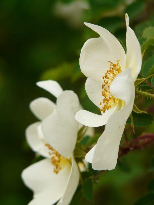 hedges rose wild rose rose