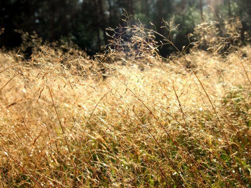 heide grass sun