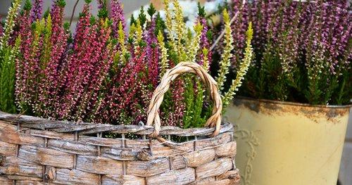 heide  plant  colorful heath