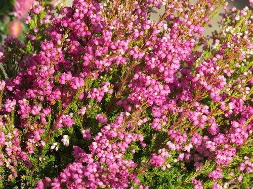 heide  pink  bell heather