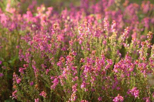 heide  flowers  pink