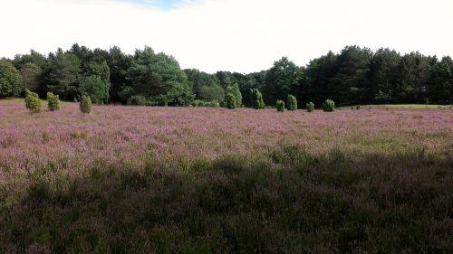 heide heathland august