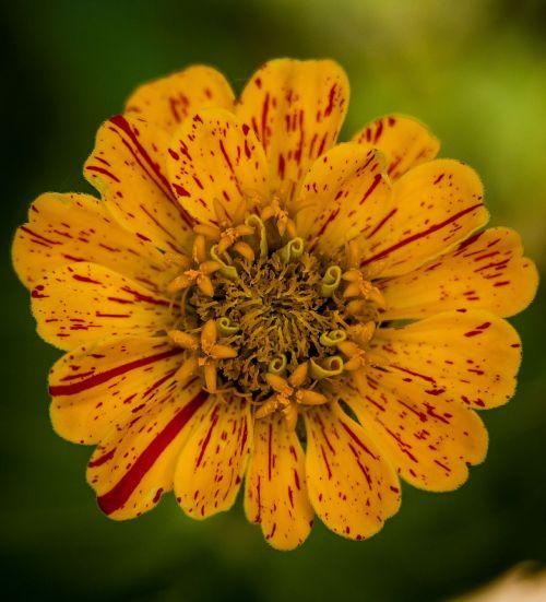 heirloom zinnia flower