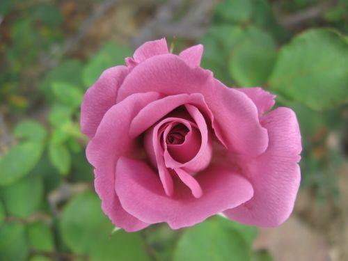 heirloom rose garden purple
