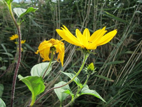 heliantheae asteroideae sunflower