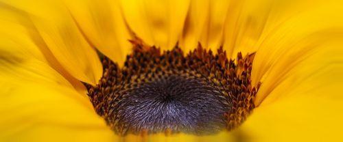 helianthus sun flower yellow