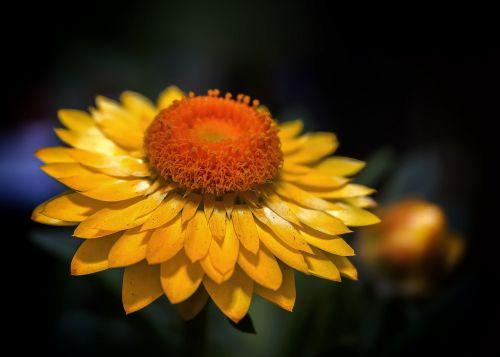 helichrysum italicum yellow
