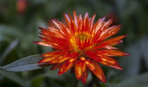 helichrysum italicum orange