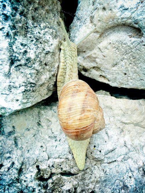 helix pomatia snail copse snail