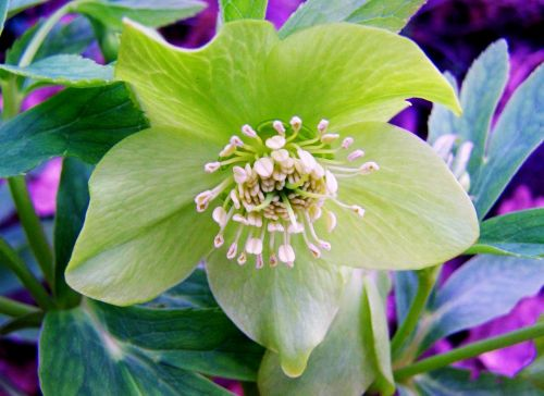hellebore winter aconite forest flower