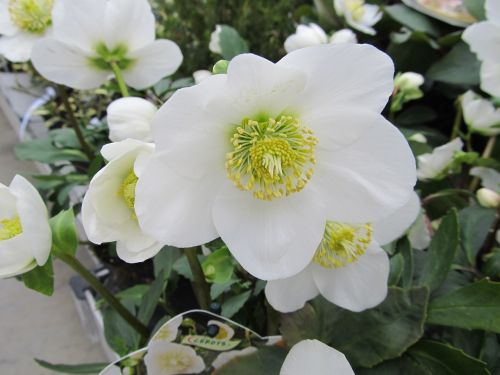 hellebore christmas flower winter