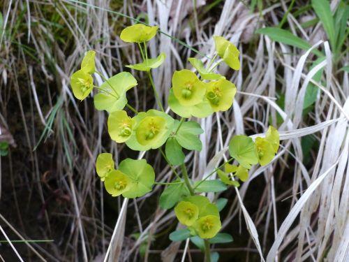 hellebore flower yellow