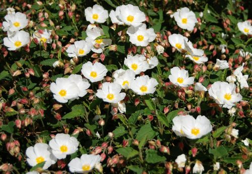 hellebore flowers garden